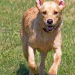 goldren retriever running
